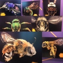 A collage display.  ID: Different types of bee species.