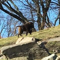 A baboon at the Bronx Zoo.  ID: A baboon is walking up a grassy hill.
