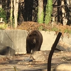 A brown bear.  ID: A bear at an outdoor enclosure at the Bronx Zoo.